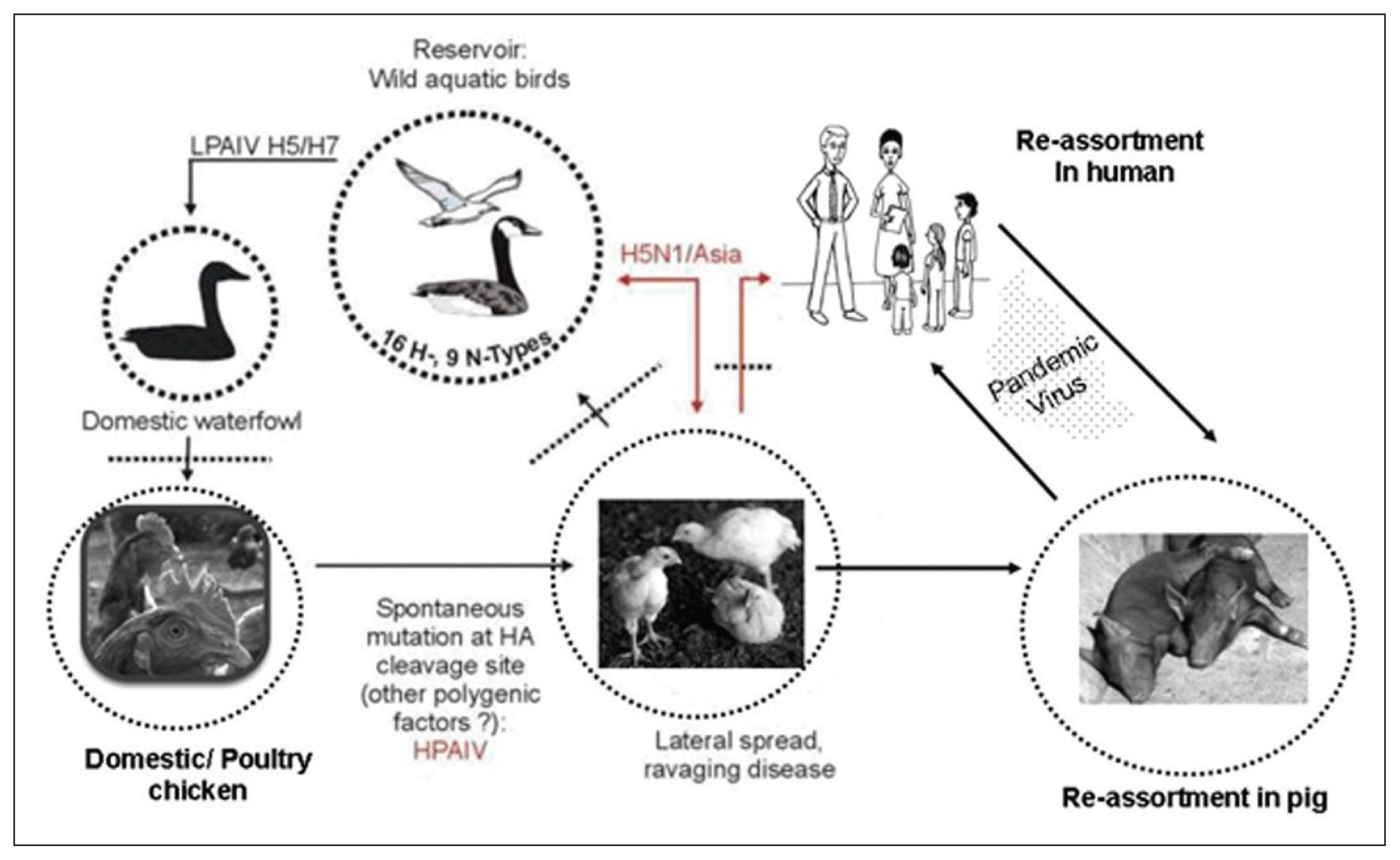Avian influenza: Are our feathers ruffled?   Annals of Saudi Medicine